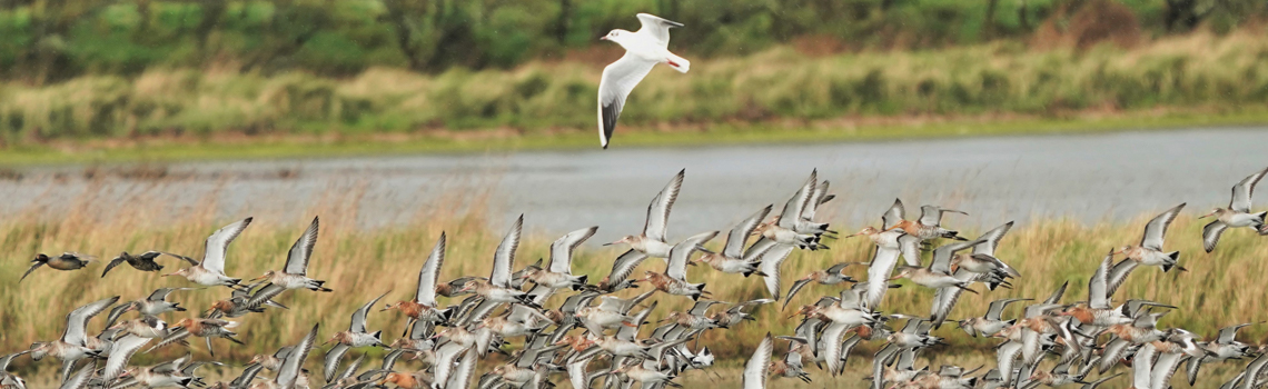 PNP - Les oiseaux du marais